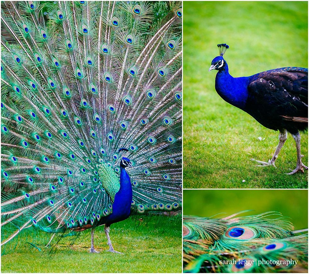 Northbrook park peacock photograph