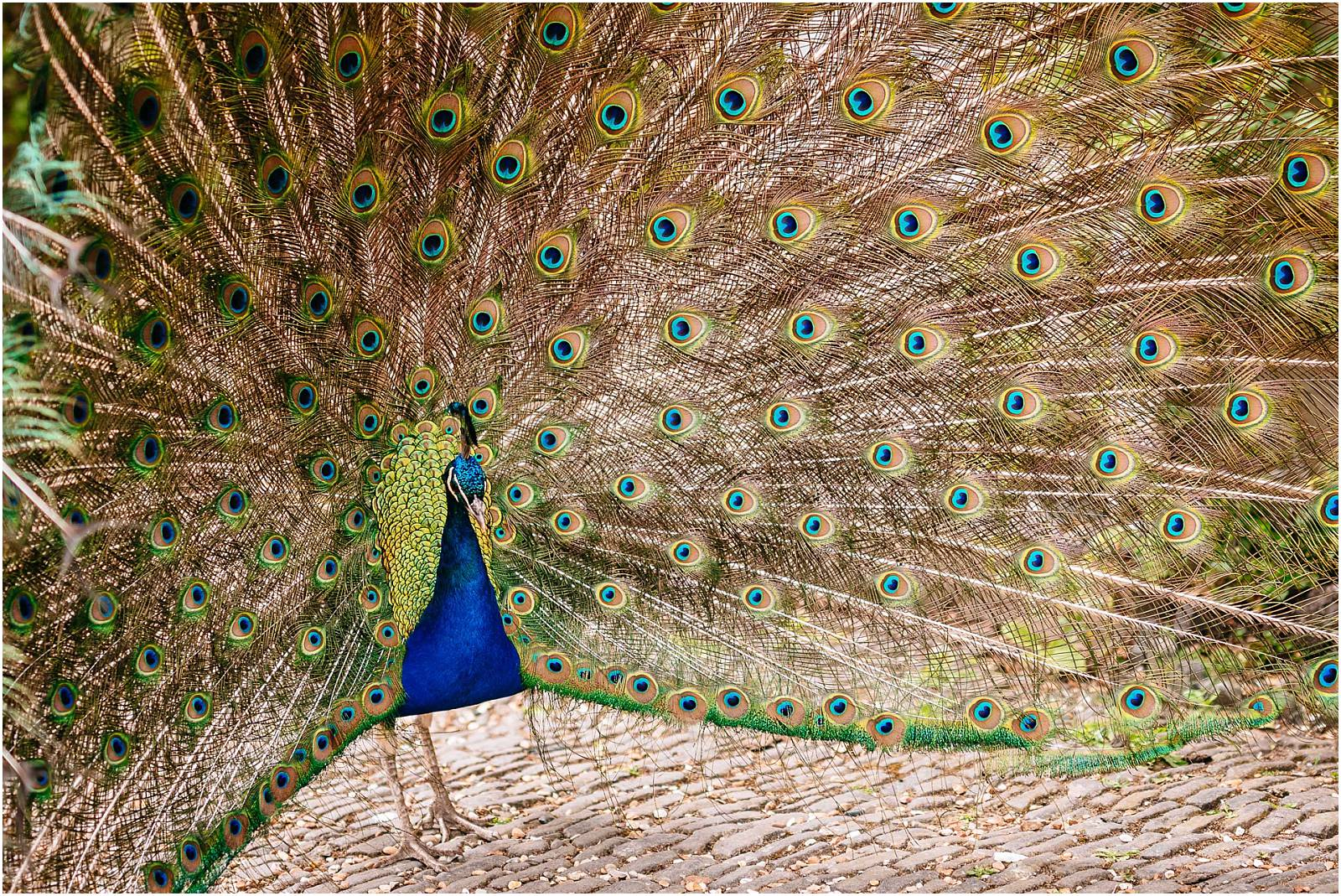 northbrook park peacock